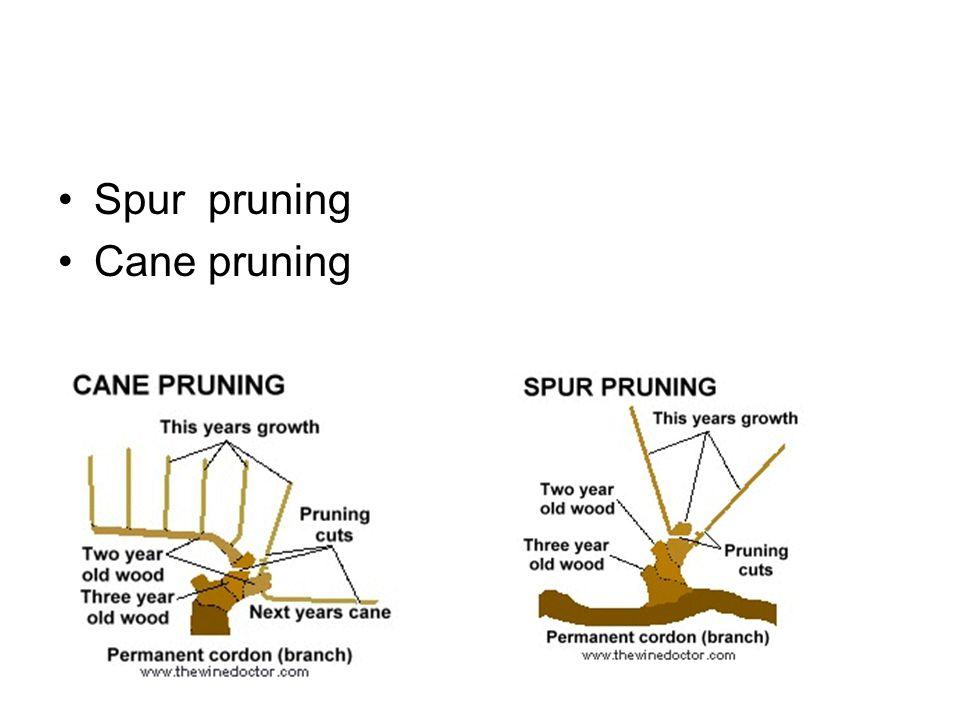 Spur pruning Cane pruning