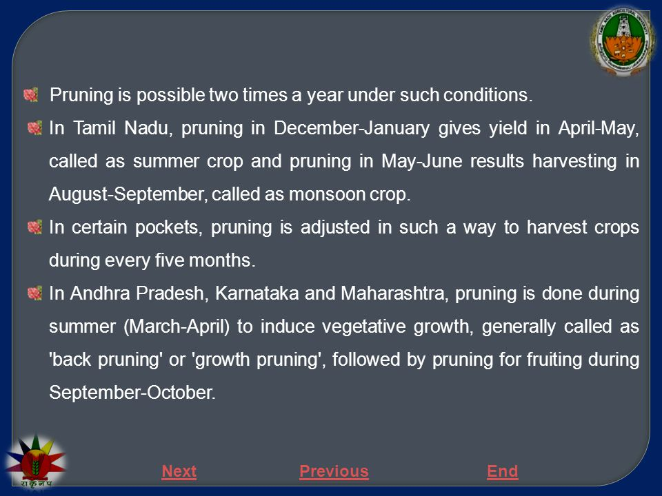 Pruning is possible two times a year under such conditions. In Tamil Nadu, pruning in December-January gives yield in April-May, called as summer crop