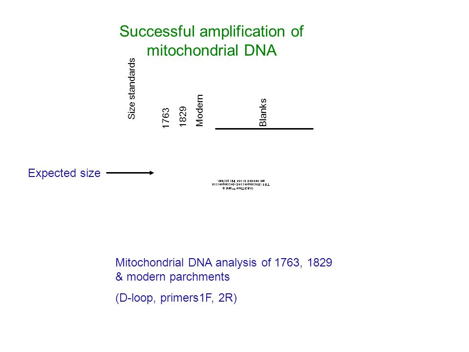 Mitochondrial DNA analysis of 1763, 1829 & modern parchments (D-loop, primers1F, 2R) Size standards 1763 1829 Modern Blanks Expected size Successful amplification of mitochondrial DNA