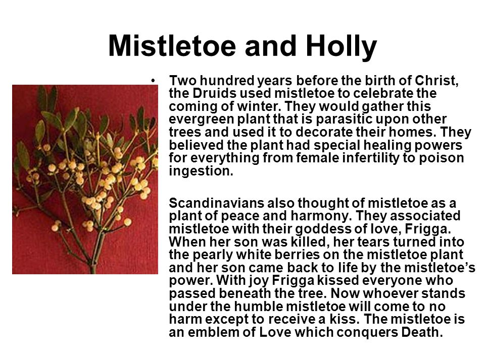 Mistletoe and Holly Two hundred years before the birth of Christ, the Druids used mistletoe to celebrate the coming of winter. They would gather this