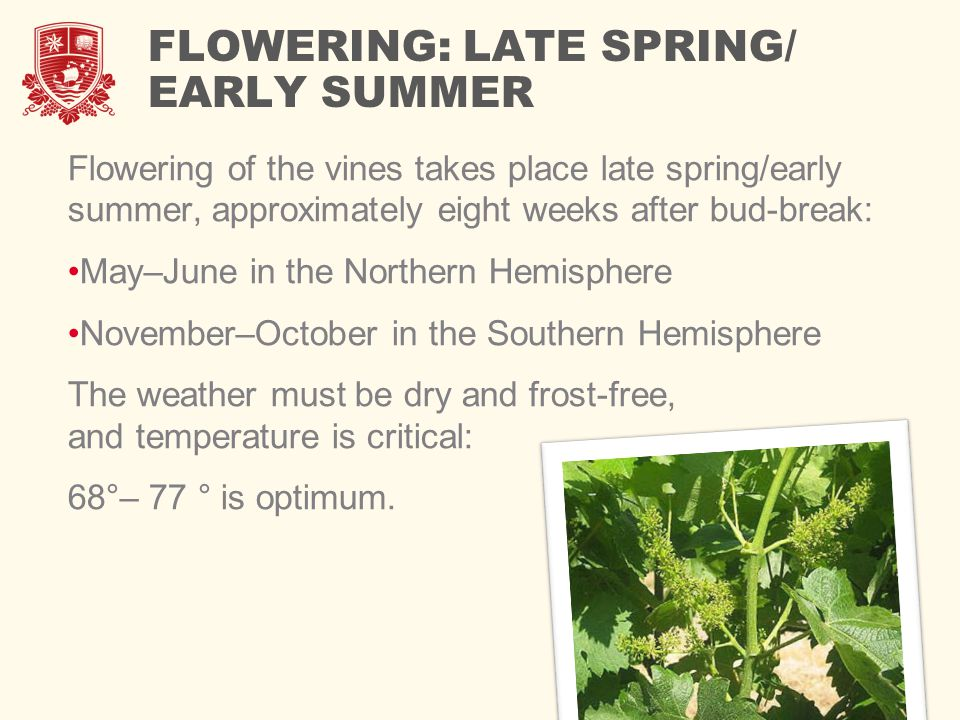 FLOWERING: LATE SPRING/ EARLY SUMMER Flowering of the vines takes place late spring/early summer, approximately eight weeks after bud-break: May–June in the Northern Hemisphere November–October in the Southern Hemisphere The weather must be dry and frost-free, and temperature is critical: 68°– 77 ° is optimum.