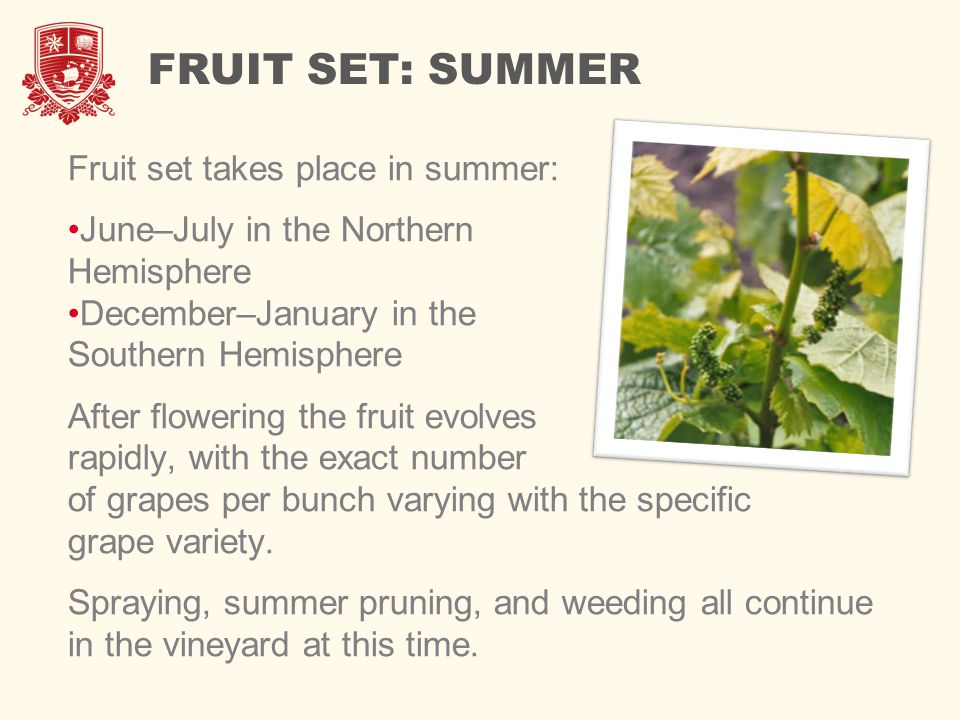 FRUIT SET: SUMMER Fruit set takes place in summer: June–July in the Northern Hemisphere December–January in the Southern Hemisphere After flowering the fruit evolves rapidly, with the exact number of grapes per bunch varying with the specific grape variety.