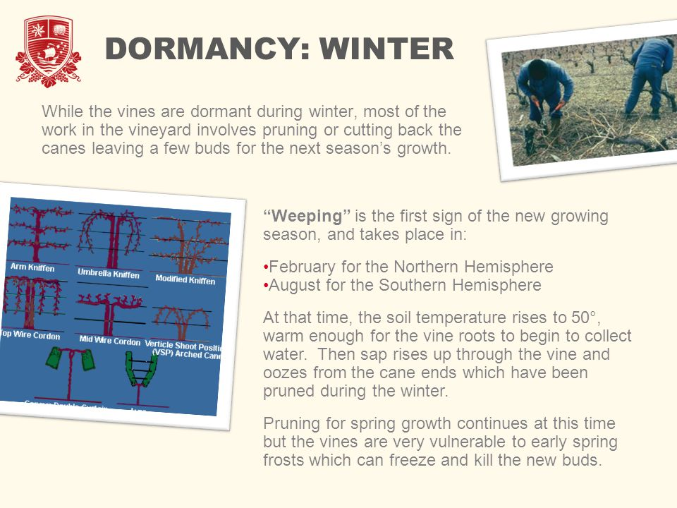 DORMANCY: WINTER While the vines are dormant during winter, most of the work in the vineyard involves pruning or cutting back the canes leaving a few buds for the next season's growth.