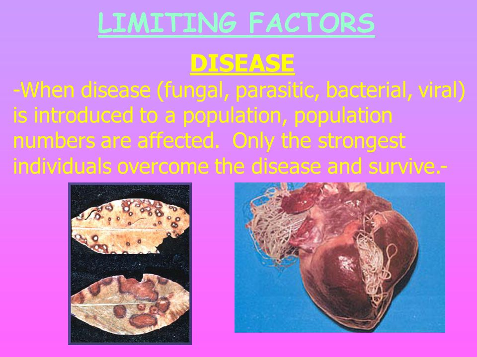 LIMITING FACTORS DISEASE -When disease (fungal, parasitic, bacterial, viral) is introduced to a population, population numbers are affected.