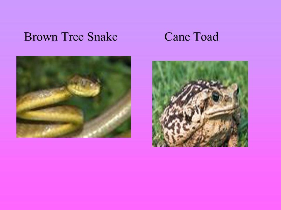 Brown Tree SnakeCane Toad