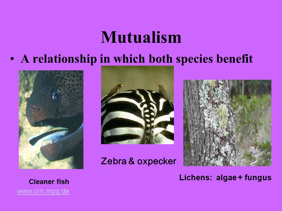 Mutualism A relationship in which both species benefit Cleaner fish Lichens: algae + fungus www.orn.mpg.de Zebra & oxpecker