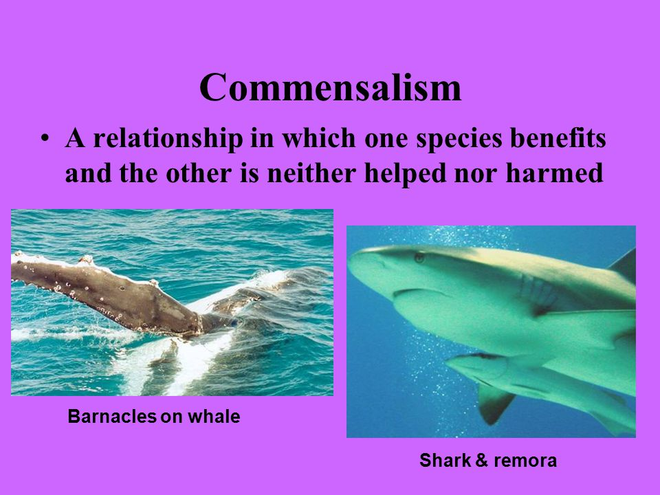 Commensalism A relationship in which one species benefits and the other is neither helped nor harmed Barnacles on whale Shark & remora