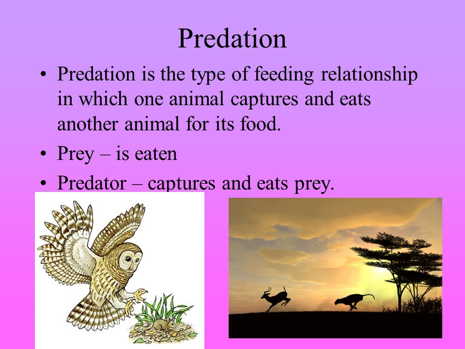 Predation Predation is the type of feeding relationship in which one animal captures and eats another animal for its food.