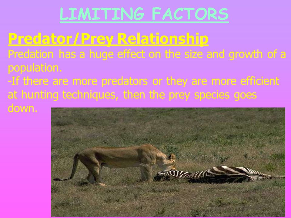LIMITING FACTORS Predator/Prey Relationship Predation has a huge effect on the size and growth of a population.