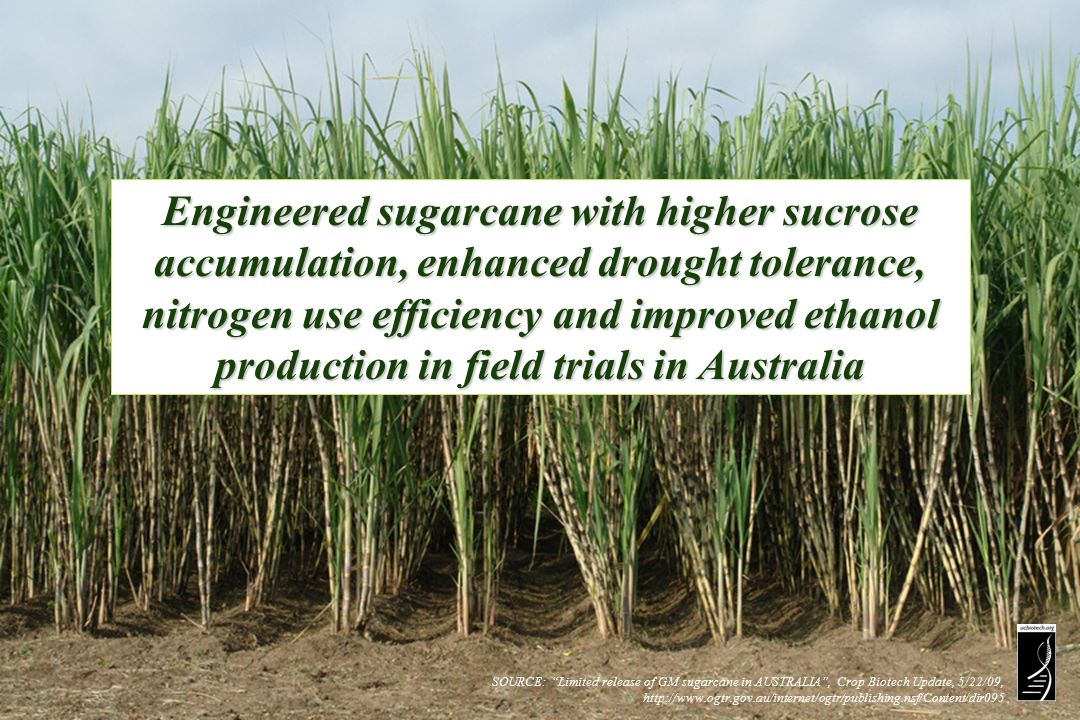 SOURCE: Limited release of GM sugarcane in AUSTRALIA , Crop Biotech Update, 5/22/09, http://www.ogtr.gov.au/internet/ogtr/publishing.nsf/Content/dir095 Engineered sugarcane with higher sucrose accumulation, enhanced drought tolerance, nitrogen use efficiency and improved ethanol production in field trials in Australia