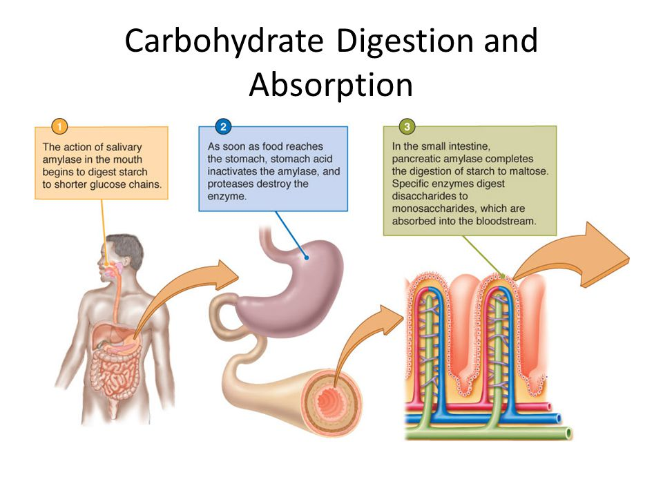 Carbohydrate Digestion and Absorption