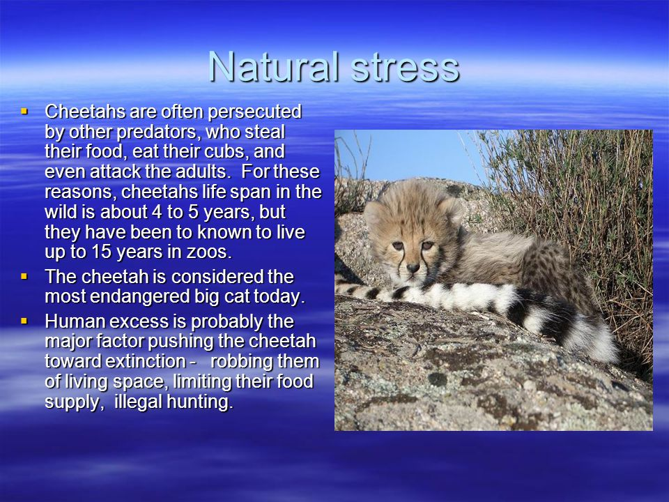 Natural stress  Cheetahs are often persecuted by other predators, who steal their food, eat their cubs, and even attack the adults.
