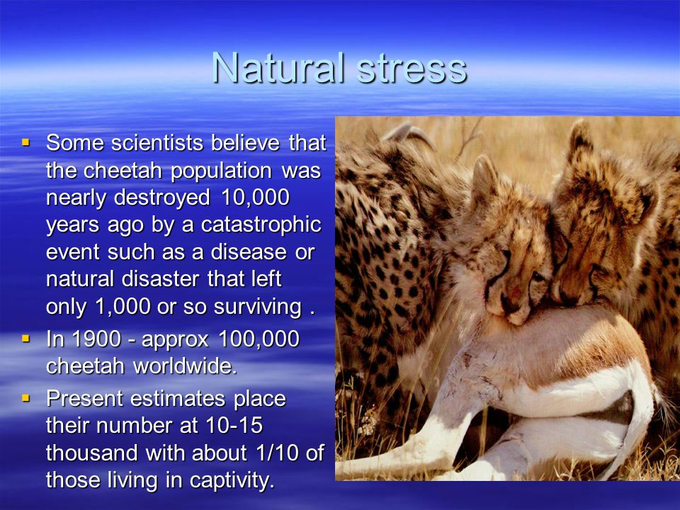 Natural stress  Some scientists believe that the cheetah population was nearly destroyed 10,000 years ago by a catastrophic event such as a disease or natural disaster that left only 1,000 or so surviving.