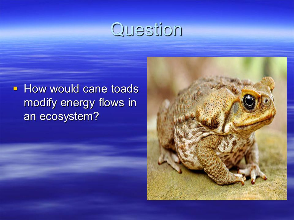 Question  How would cane toads modify energy flows in an ecosystem?