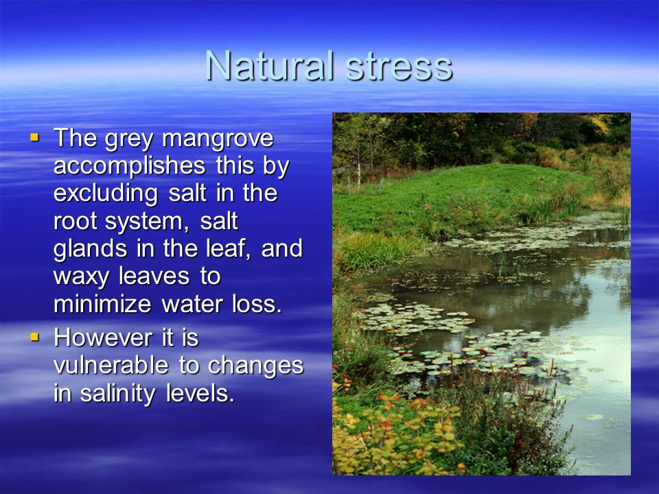 Natural stress  The grey mangrove accomplishes this by excluding salt in the root system, salt glands in the leaf, and waxy leaves to minimize water loss.