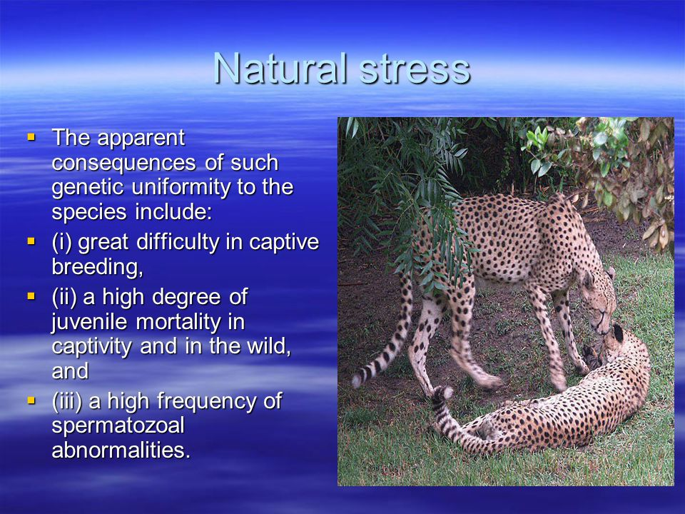 Natural stress  The apparent consequences of such genetic uniformity to the species include:  (i) great difficulty in captive breeding,  (ii) a high degree of juvenile mortality in captivity and in the wild, and  (iii) a high frequency of spermatozoal abnormalities.