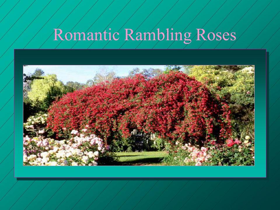Romantic Rambling Roses