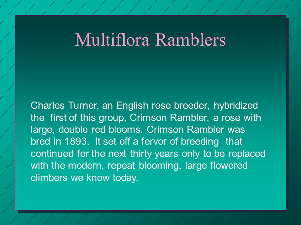 Multiflora Ramblers Charles Turner, an English rose breeder, hybridized the first of this group, Crimson Rambler, a rose with large, double red blooms.