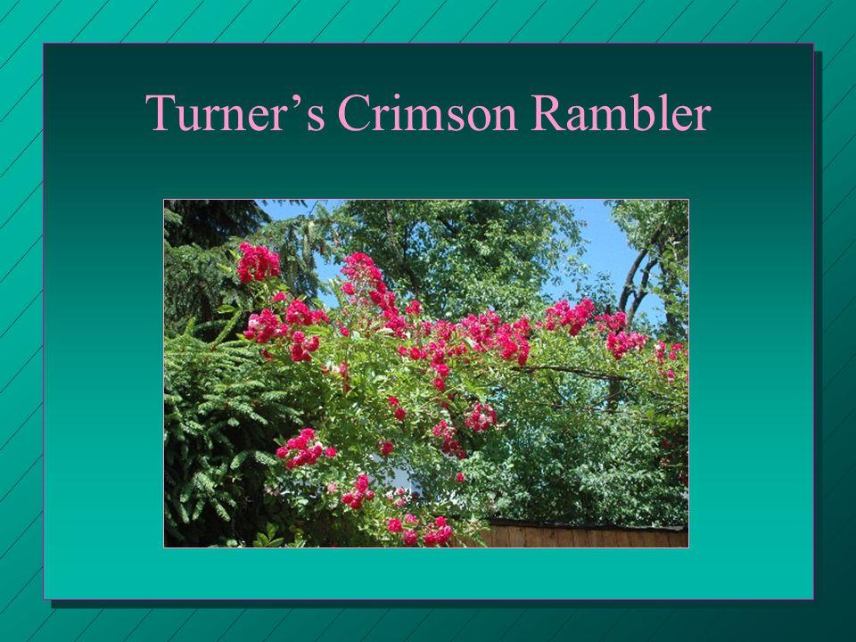 Turner's Crimson Rambler