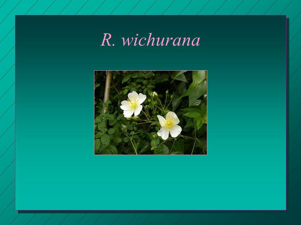 R. wichurana