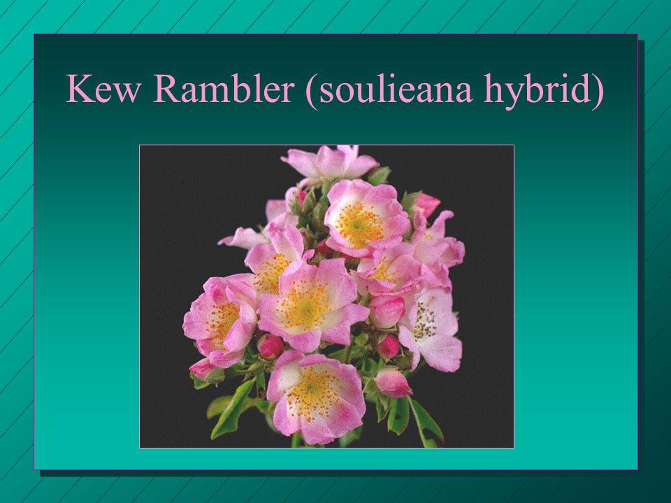 Kew Rambler (soulieana hybrid)