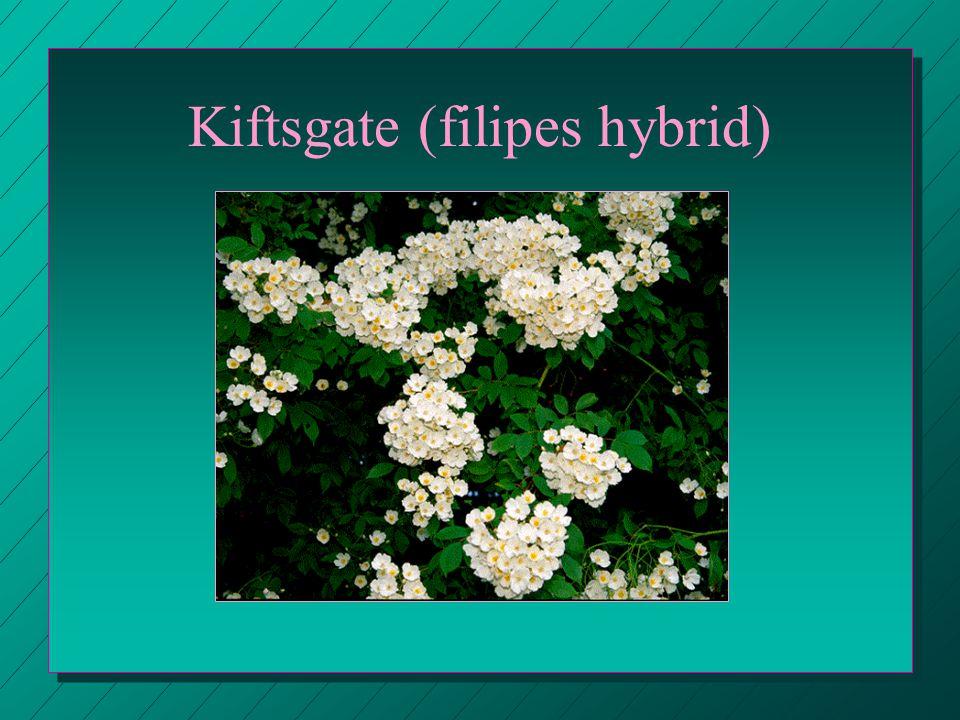 Kiftsgate (filipes hybrid)