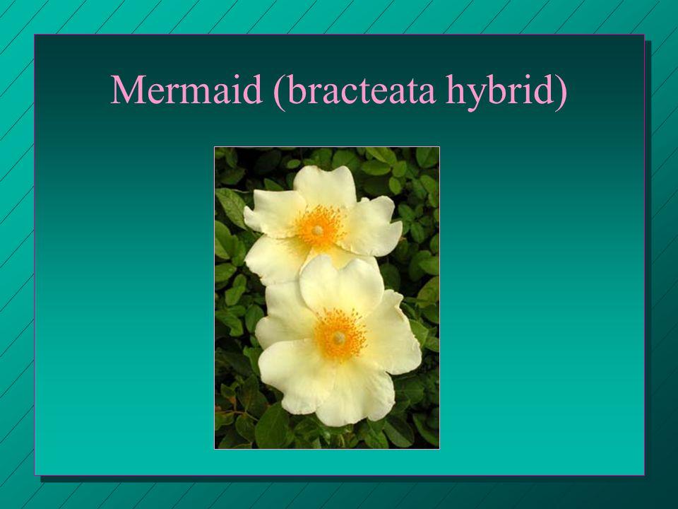 Mermaid (bracteata hybrid)
