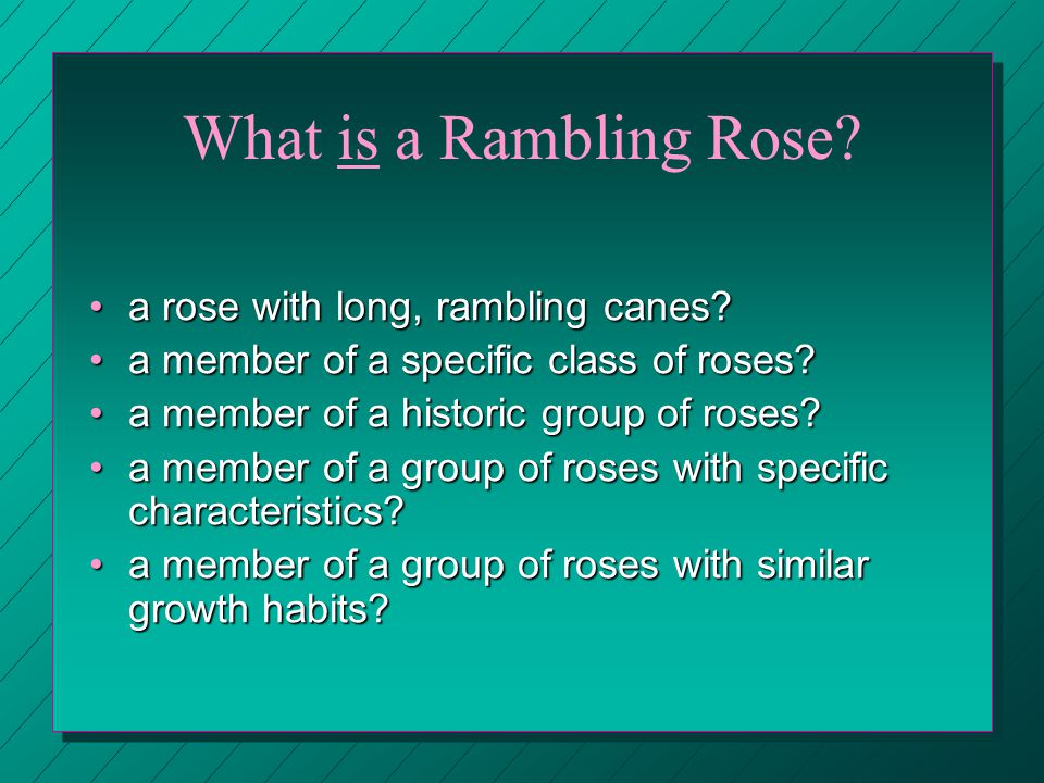 What is a Rambling Rose. a rose with long, rambling canes a rose with long, rambling canes.