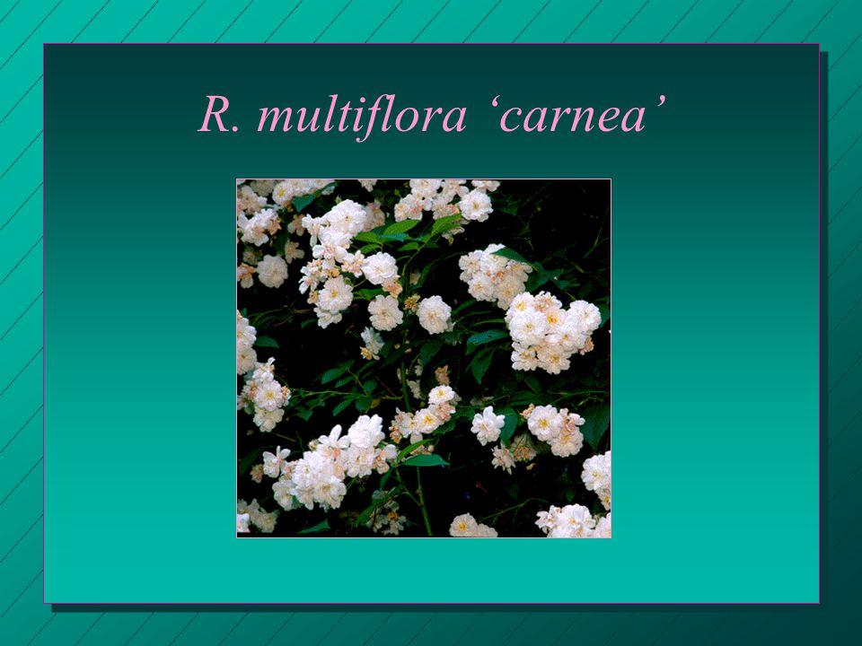 R. multiflora 'carnea'