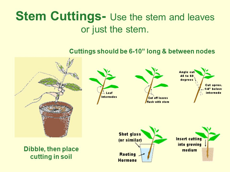 "Stem Cuttings- Use the stem and leaves or just the stem. Cuttings should be 6-10"" long & between nodes Dibble, then place cutting in soil"