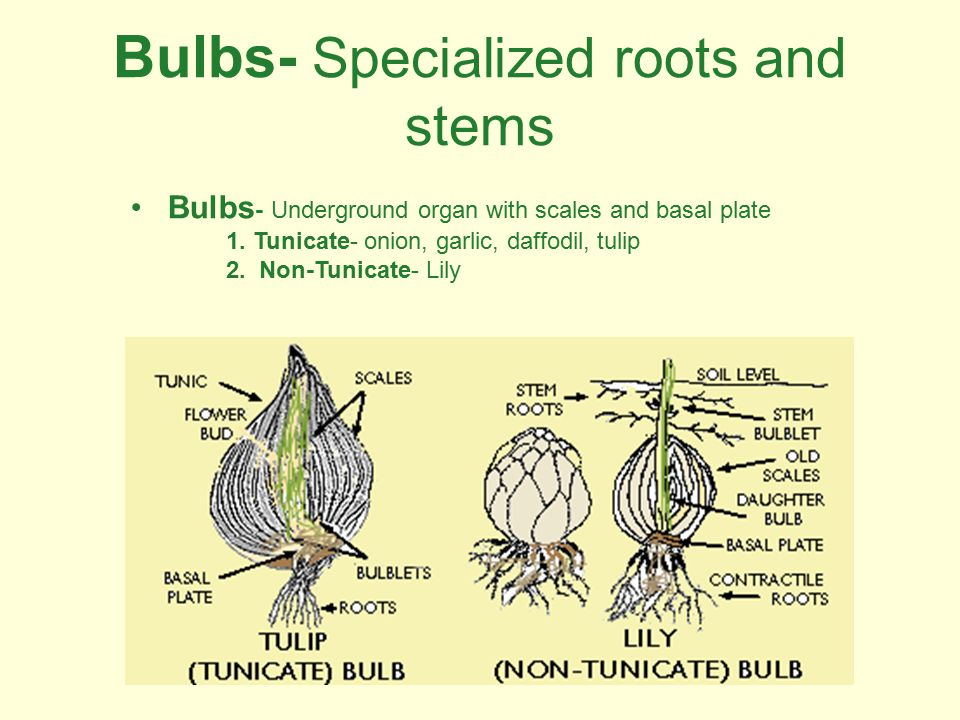 Bulbs- Specialized roots and stems Bulbs - Underground organ with scales and basal plate 1. Tunicate- onion, garlic, daffodil, tulip 2. Non-Tunicate-