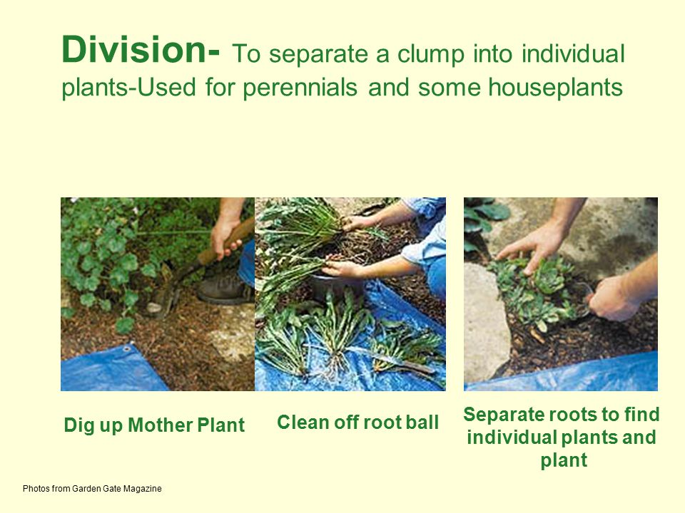 Division- To separate a clump into individual plants-Used for perennials and some houseplants Photos from Garden Gate Magazine Dig up Mother Plant Cle