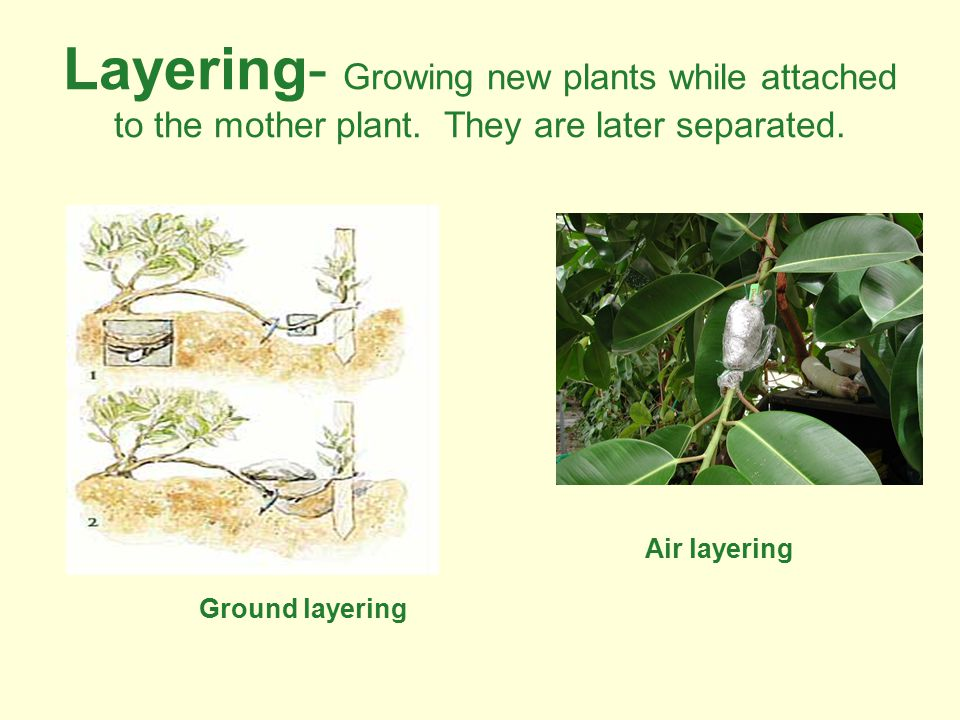 Layering- Growing new plants while attached to the mother plant.