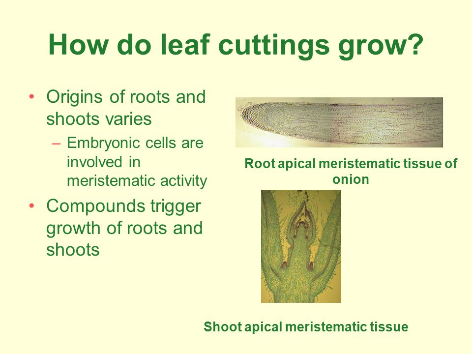 How do leaf cuttings grow.