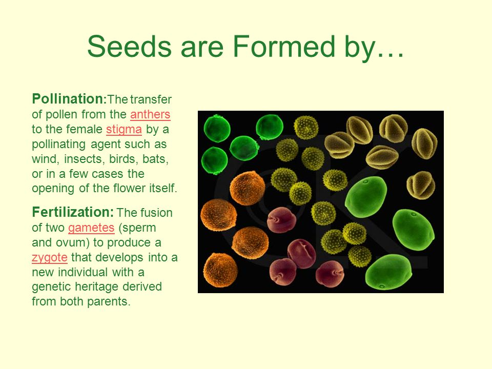 Seeds are Formed by… Pollination :The transfer of pollen from the anthers to the female stigma by a pollinating agent such as wind, insects, birds, bats, or in a few cases the opening of the flower itself.anthersstigma Fertilization: The fusion of two gametes (sperm and ovum) to produce a zygote that develops into a new individual with a genetic heritage derived from both parents.gametes zygote