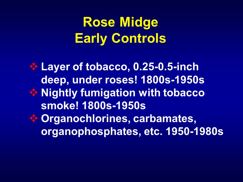 Rose Midge Early Controls  Layer of tobacco, 0.25-0.5-inch deep, under roses! 1800s-1950s  Nightly fumigation with tobacco smoke! 1800s-1950s  Orga