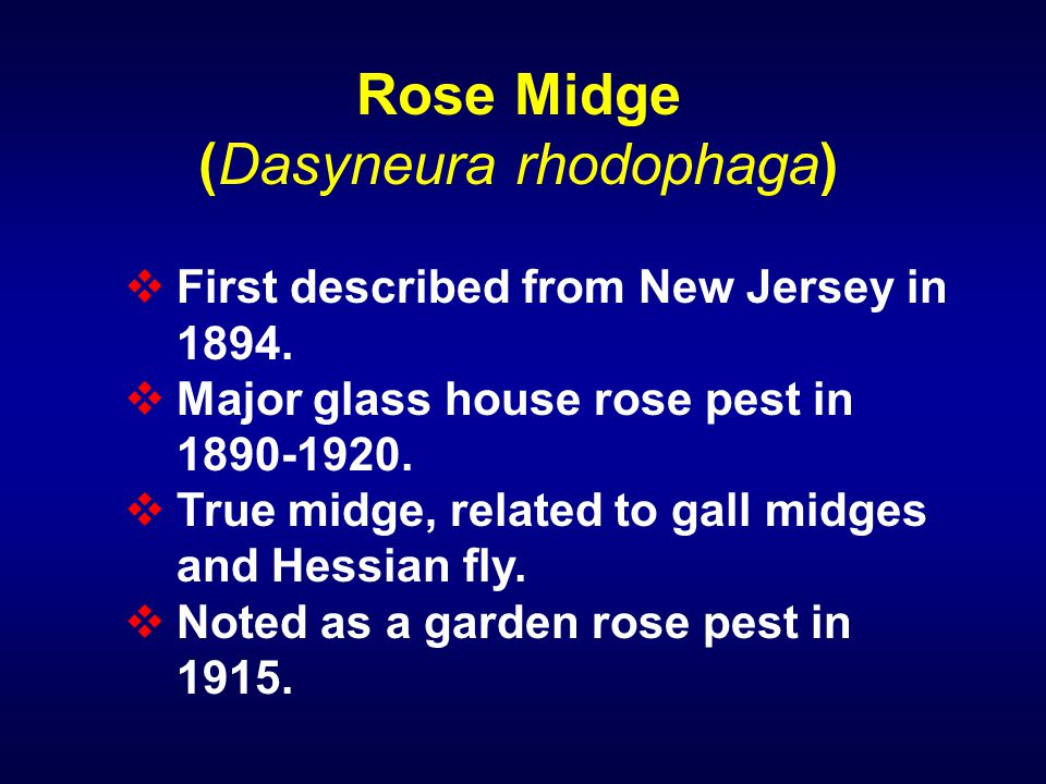 Rose Midge (Dasyneura rhodophaga)  First described from New Jersey in 1894.  Major glass house rose pest in 1890-1920.  True midge, related to gall