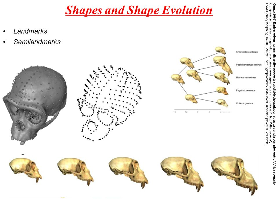 Shapes and Shape Evolution Gunz (2009) Early modern human diversity suggests subdivided population structure and a complex out-of-Africa scenario Comparison of cranial ontogenetic trajectories among great apes and humans Philipp Mitteroeckera*, Evolutionary Morphing David F.