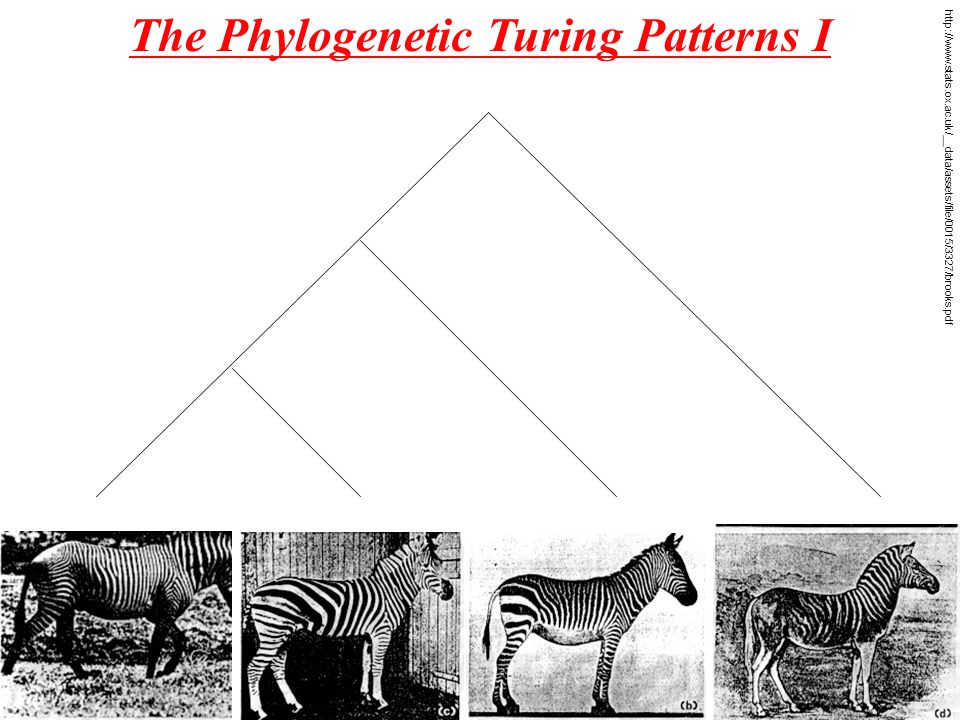 The Phylogenetic Turing Patterns I http://www.stats.ox.ac.uk/__data/assets/file/0015/3327/brooks.pdf