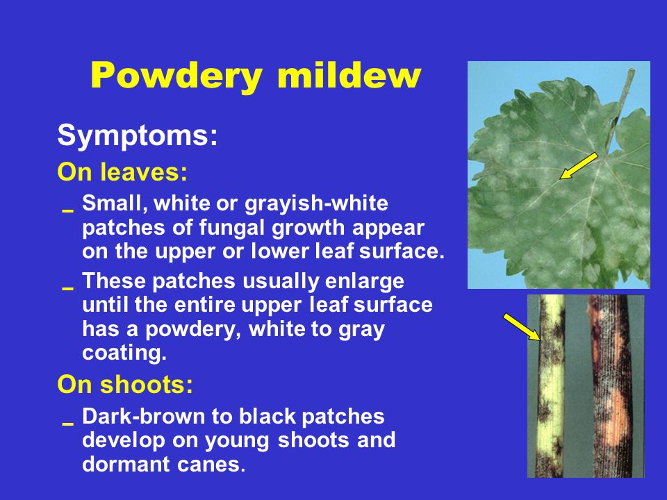 Powdery mildew Symptoms: On leaves:  Small, white or grayish-white patches of fungal growth appear on the upper or lower leaf surface.  These patche