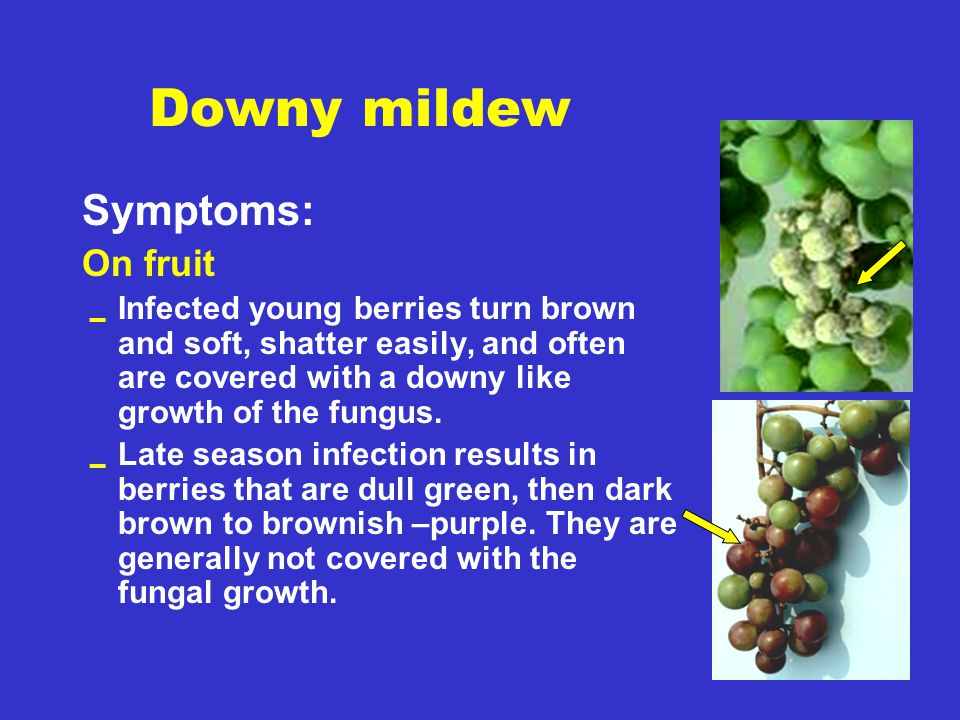 Downy mildew Symptoms: On fruit  Infected young berries turn brown and soft, shatter easily, and often are covered with a downy like growth of the fu