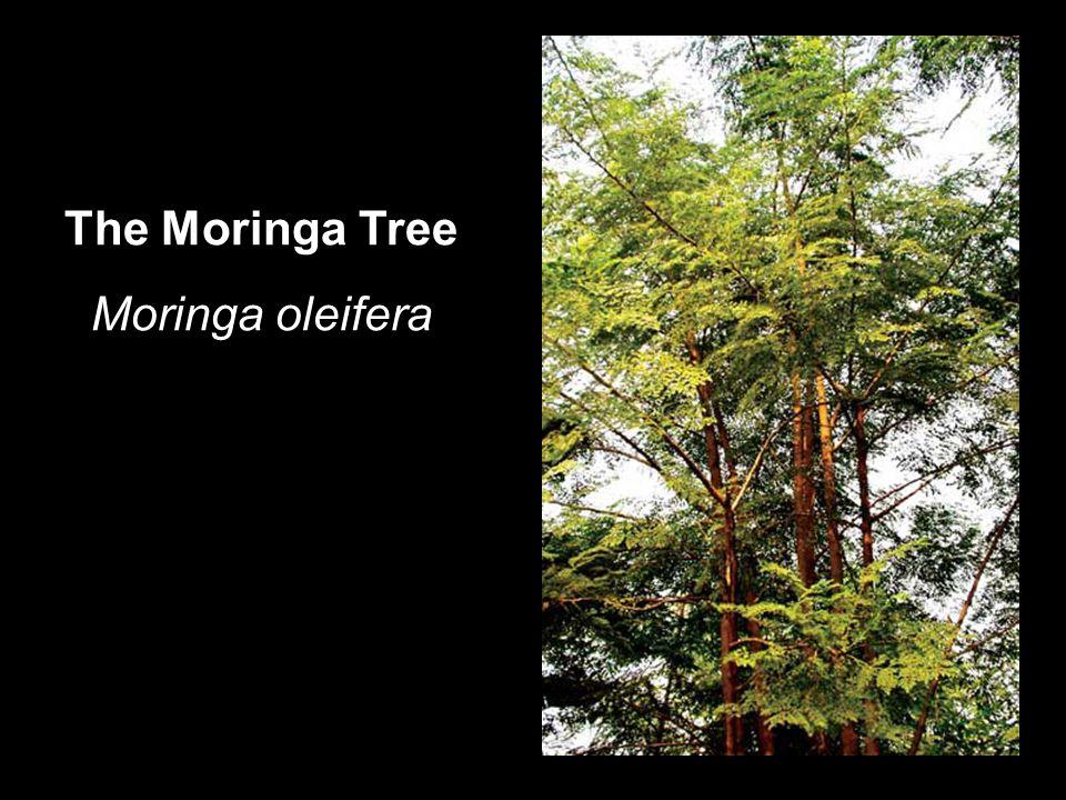 The Moringa Tree Moringa oleifera
