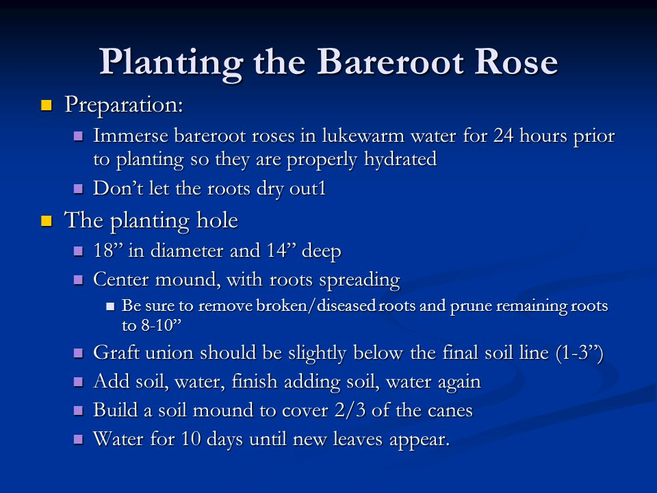 Planting the Bareroot Rose Preparation: Preparation: Immerse bareroot roses in lukewarm water for 24 hours prior to planting so they are properly hydr