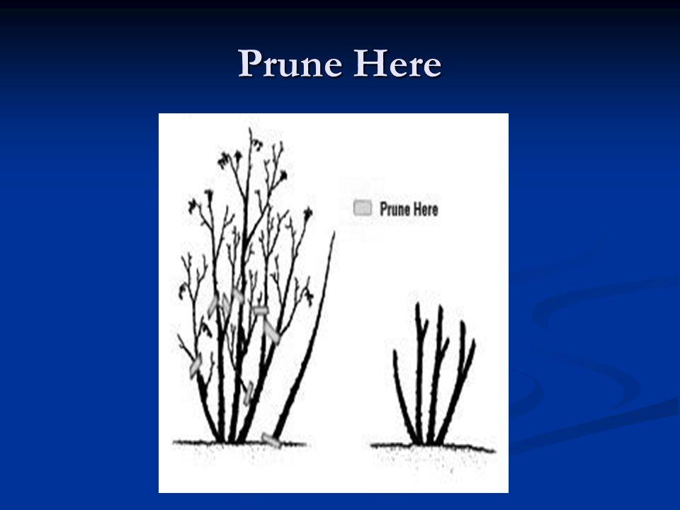 Prune Here
