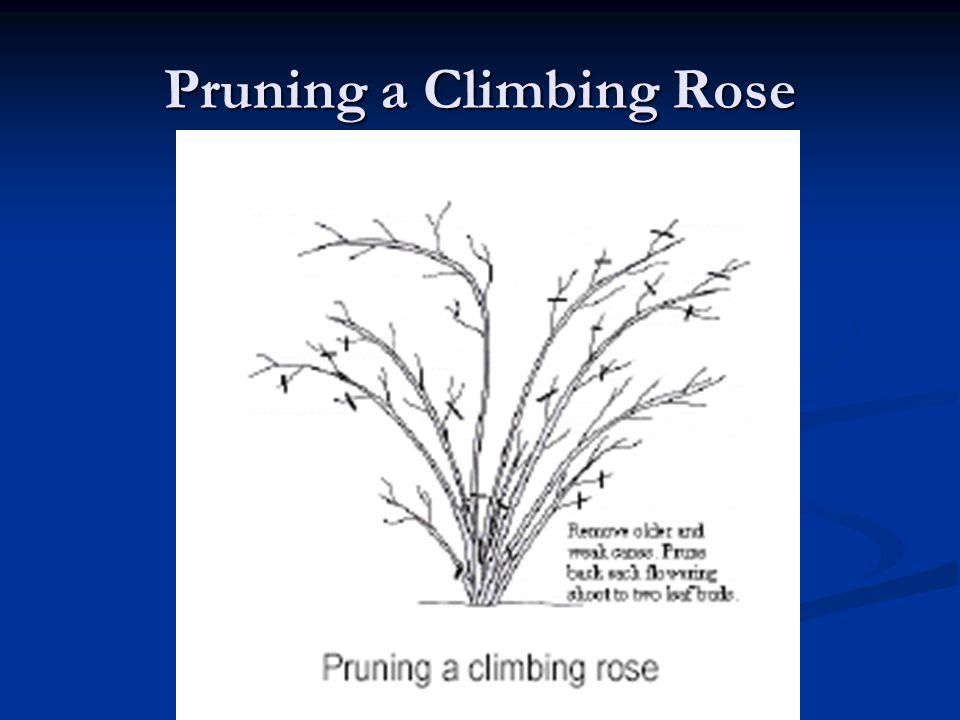 Pruning a Climbing Rose