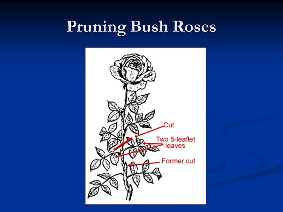 Pruning Bush Roses