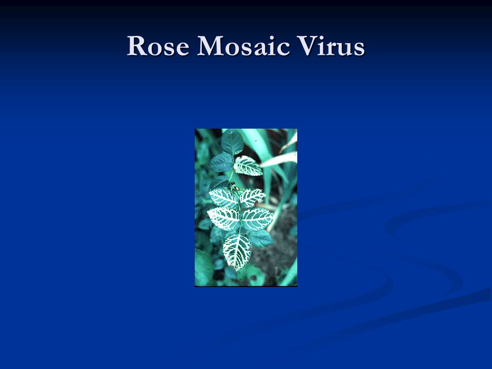 Rose Mosaic Virus