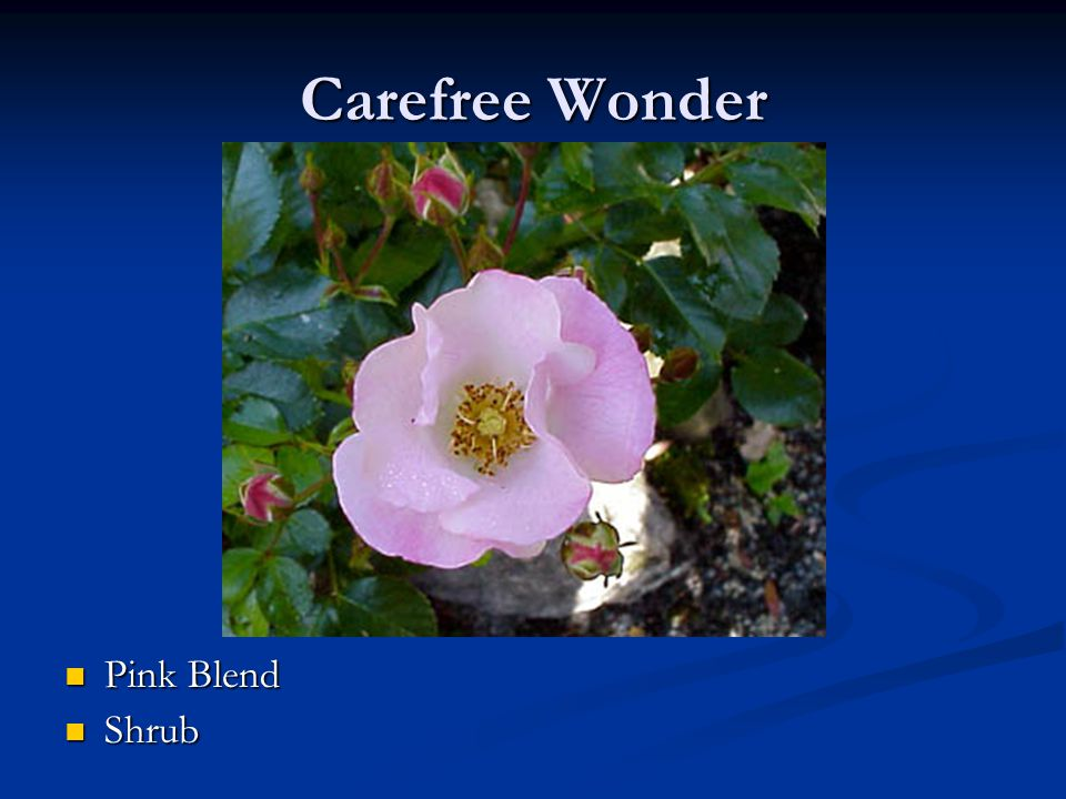 Carefree Wonder Pink Blend Shrub