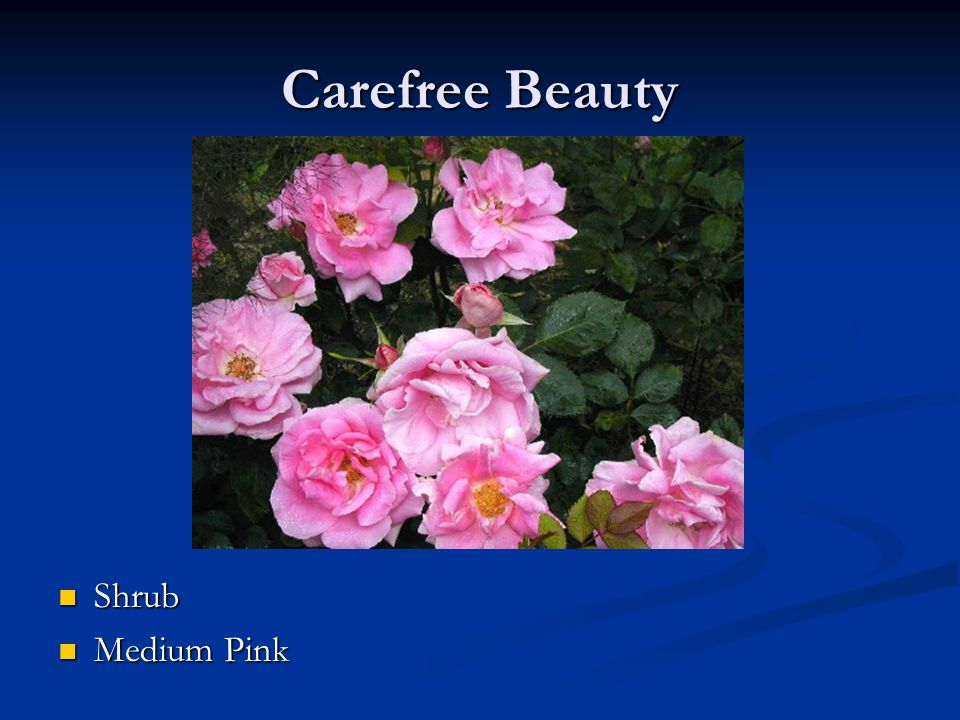 Carefree Beauty Shrub Medium Pink