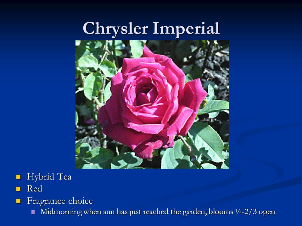 Chrysler Imperial Hybrid Tea Red Fragrance choice Midmorning when sun has just reached the garden; blooms ¼-2/3 open